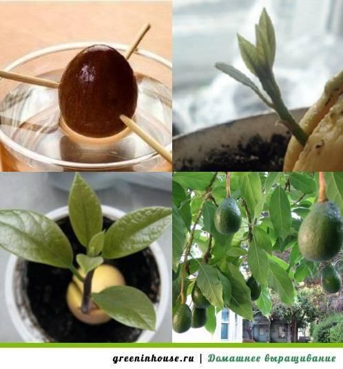 Как вырастить орех макадамия в домашних условиях: можно ли самому осуществить посадку киндаля и пошаговая инструкция выращивания