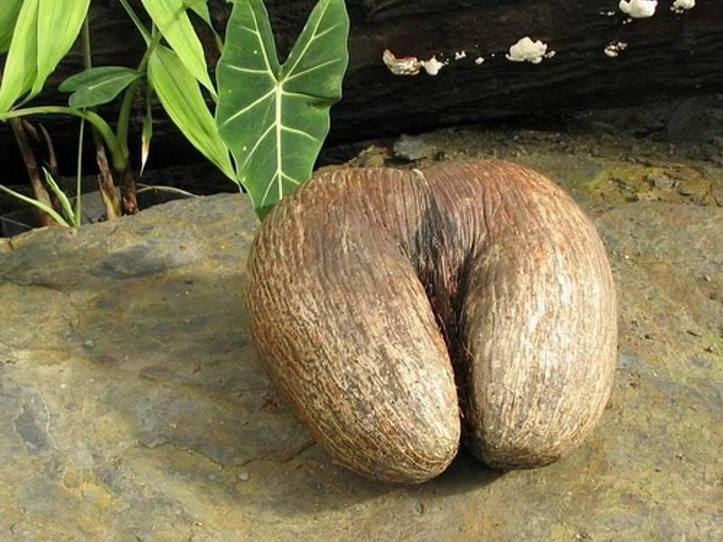 Сейшельский орех (коко де мер): описание, история, состав, свойства