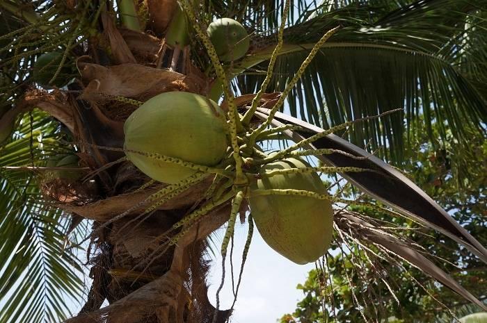Как и где растут бананы в природе, на каком дереве и в каких странах