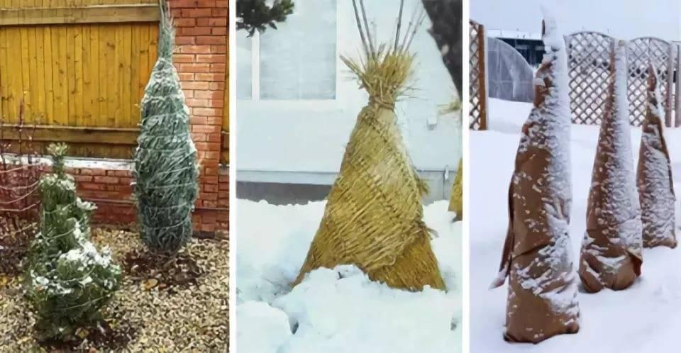 В чем заключается подготовка грецкого ореха к зиме? Есть ли разница в укрытии саженцев и взрослых деревьев?