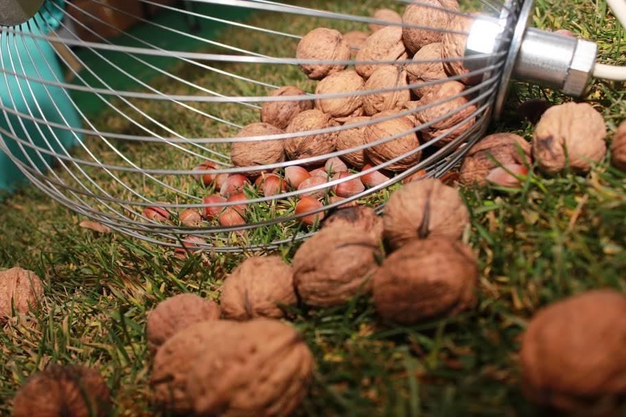 Когда собирают грецкие орехи: как, где и в каком месяце