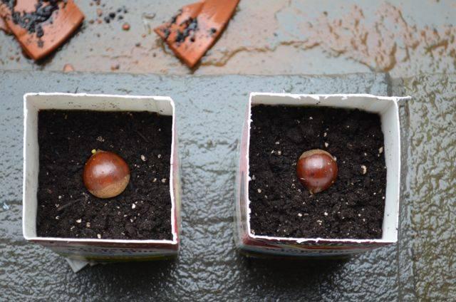 Как осенью посадить каштан из ореха. как посадить и вырастить конский каштан | дачная жизнь