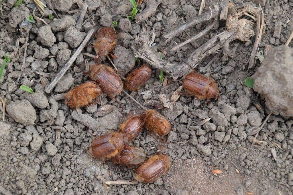 Хрущ майский восточный | справочник пестициды.ru