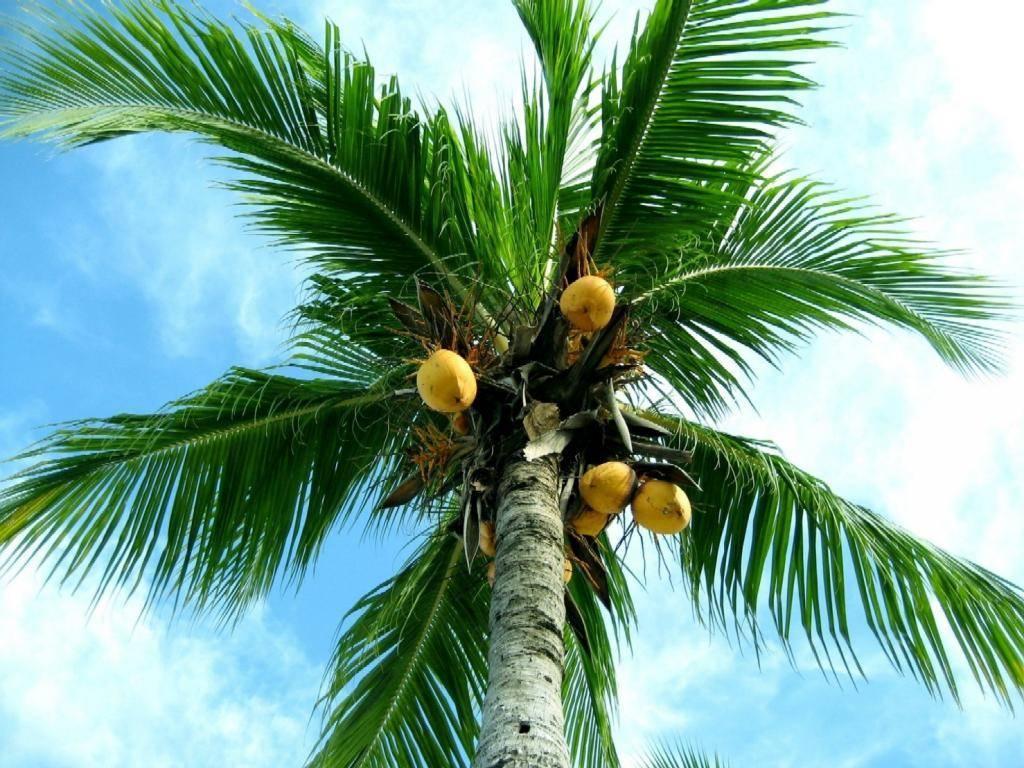 Кокосовая пальма — википедия