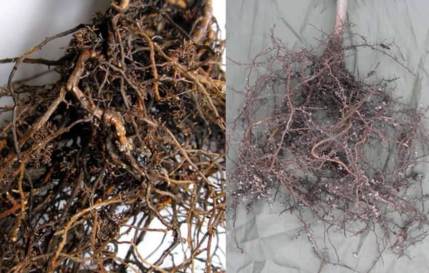 Микориза - что такое (грибокорень), ее роль в питании растений