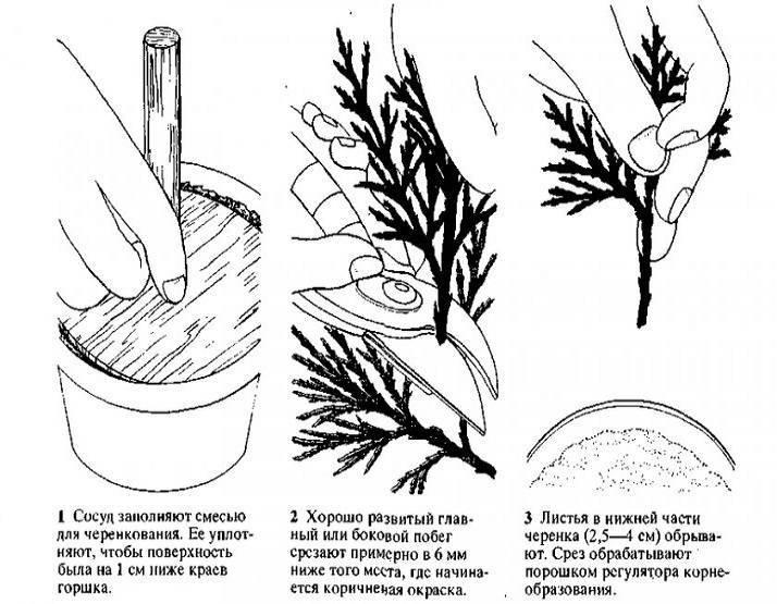 Как размножается грецкий орех: микроклональное, черенками, летняя окулировка