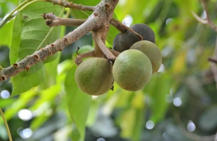 Орехи кукуи содержание полезных веществ, польза и вред, свойства