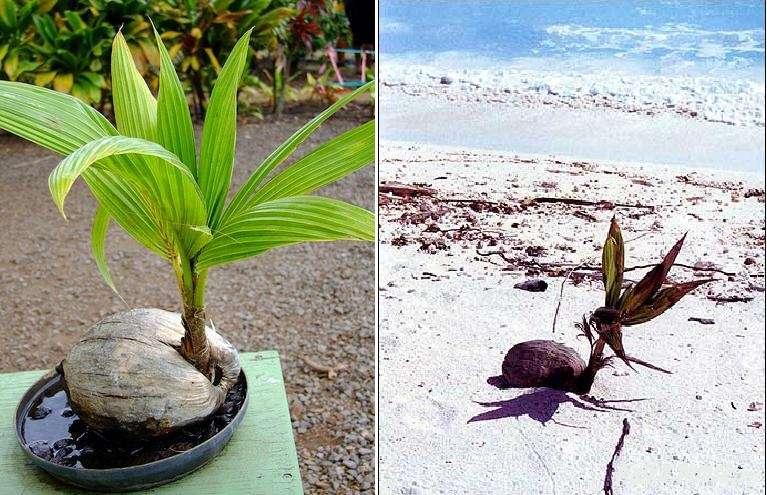 Как размножить, взять отросток пальмы