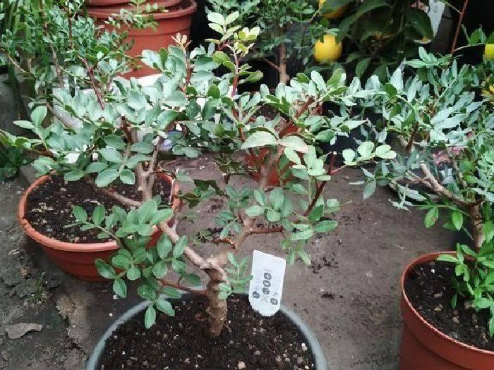 Как вырастить фисташковое дерево в домашних условиях дачи, огорода: выращивание ореха в россии и можно ли посадить семена и морозостойкие саженцы в подмосковье?