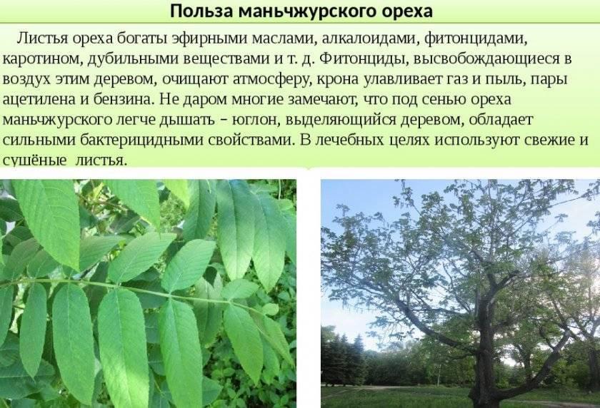 Земляной орех (арахис) - 105 фото и советы по посаде, уходу и выращиванию
