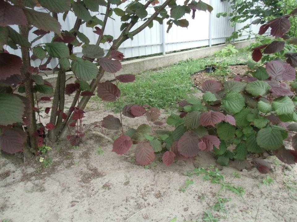 Фундук: выращивание и уход, посадка в домашних условиях