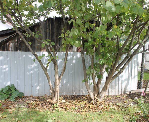 Посадка фундука в саду: уход и выращивание