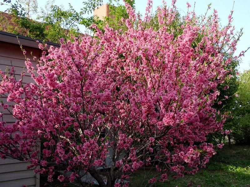 Миндальное дерево: посадка и уход, подготовка к зиме