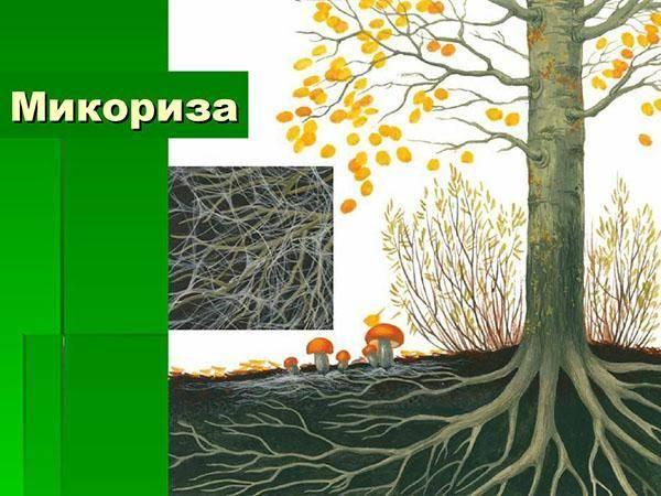 Что представляет собой микориза и как она влияет на почву и растения