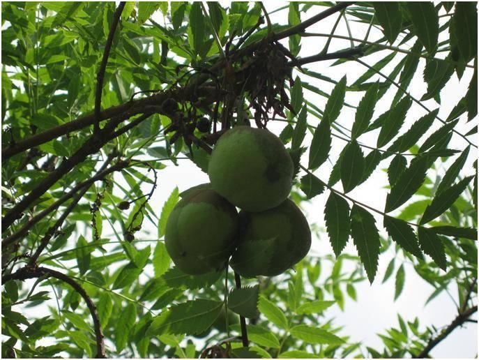 Черный орех: описание дерева, посадка и уход, болезни и вредители