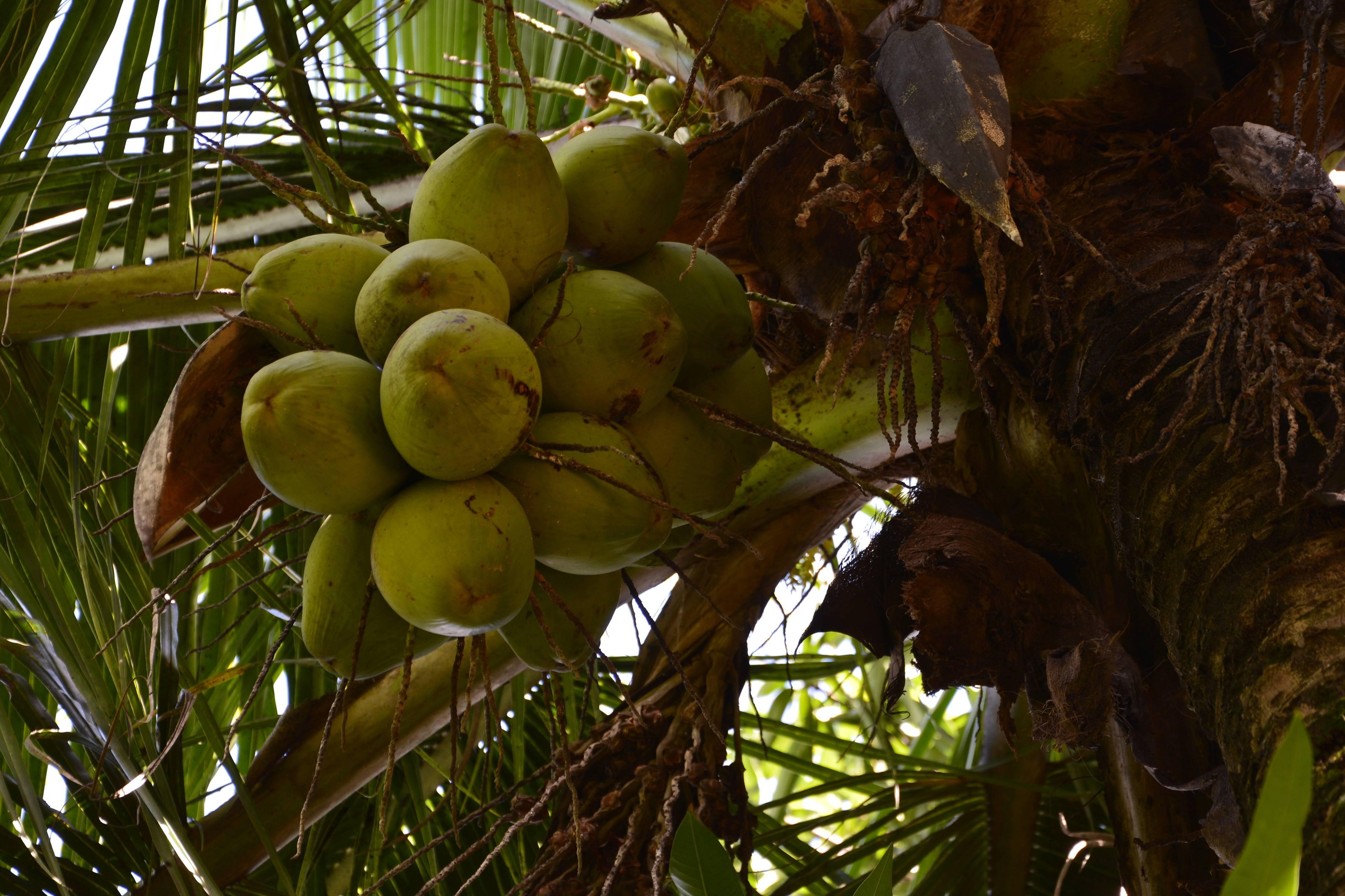 Кокос - это фрукт, орех или семя?