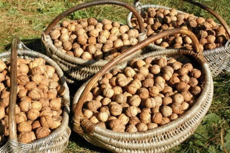Биологические аспекты в селекции ореха грецкого