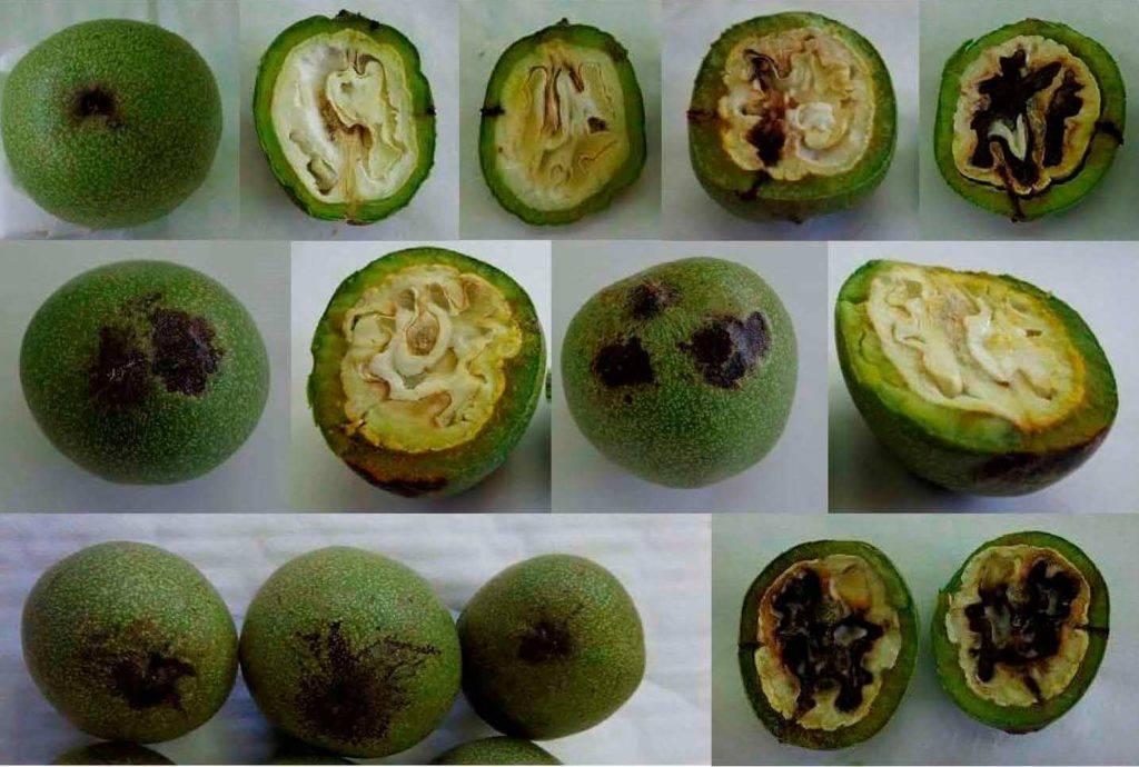 Причины болезней и вредителей грецкого ореха, лечение и борьба с ними