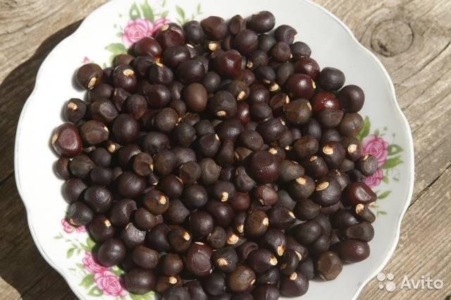Чекалкин орех рябинолистный зимостойкость. чекалкин орех: выращивание из семян, уход, особенности и отзывы. обрезка древесных пород для получения салатной зелени