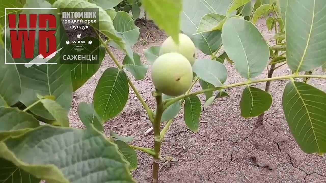 Скороплодный грецкий орех сорт кочерженко описание