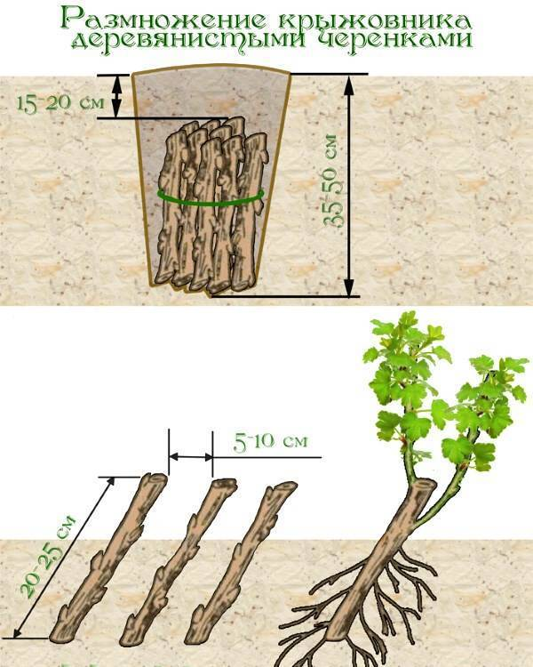 Дерево-долгожитель грецкий орех: как посадить орешек в горшок и грунт, какой сорт выбрать, когда ждать урожай?