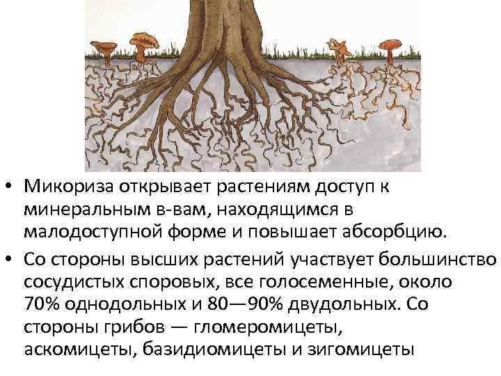 Микориза как симбиоз гриба и корней растения