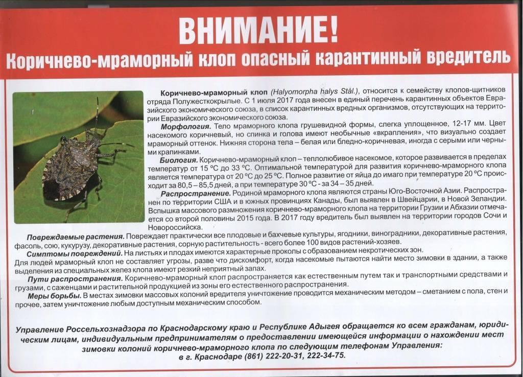 Откуда взялся мраморный клоп в абхазии и краснодарском крае