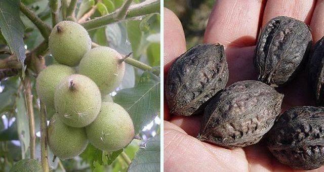 Маньчжурский (думбейский) орех: польза и вред, лечебные свойства и противопоказания, применение