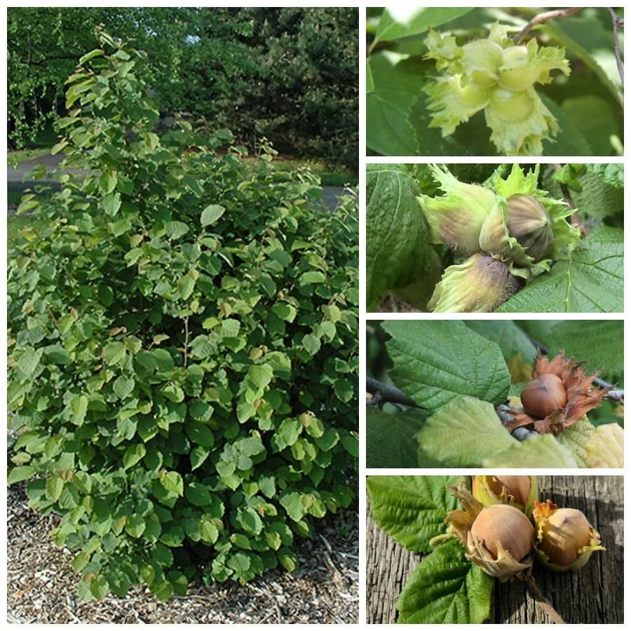 Список растений, которые можно высаживать под грецким орехом | сад и огород