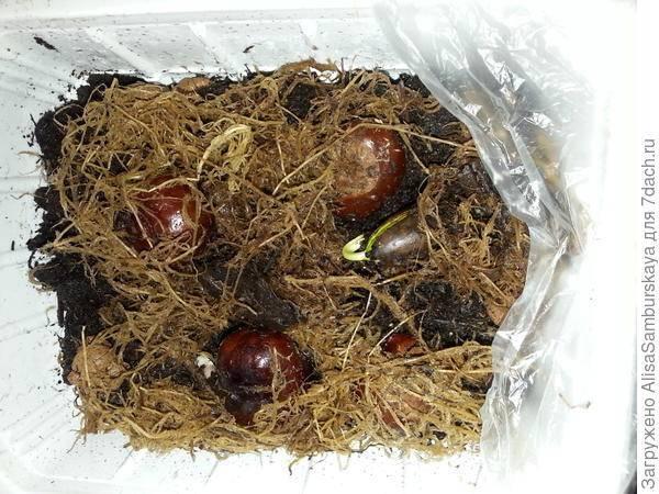 Как посадить каштан из ореха в домашних условиях