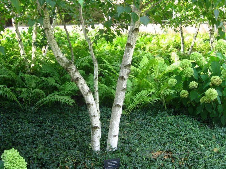 Что посадить в приствольном круге плодовых деревьев