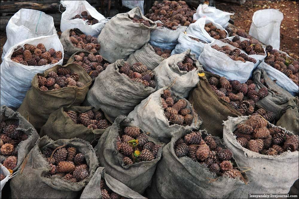 Где растут кедровые орехи, когда собирают и как добывают – дачные дела