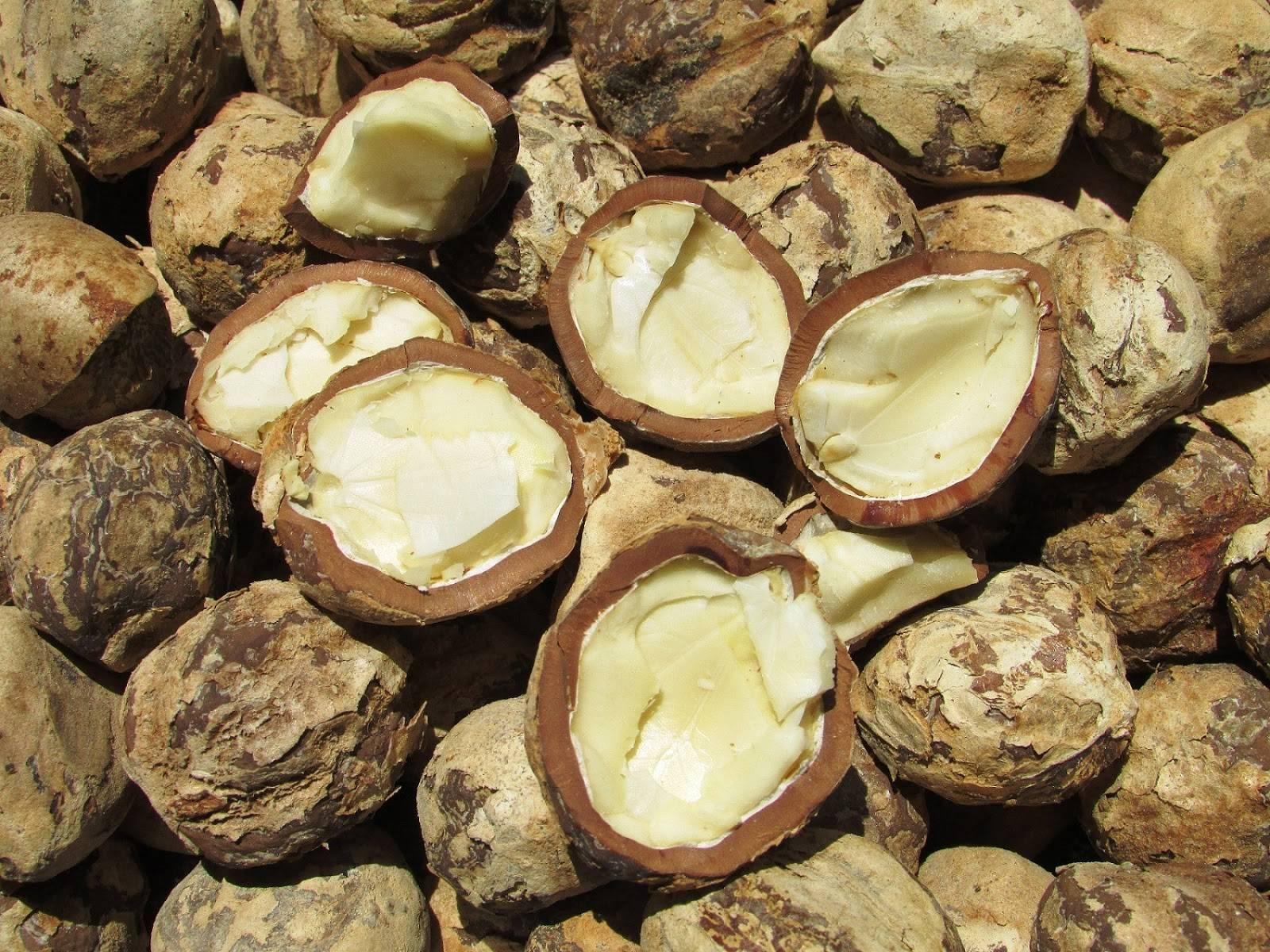 Свечной орех: польза и свойства орешка кукуй