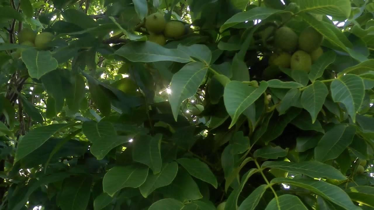 Выращивание грецкого ореха в саду - советы специалистов | сайт о саде, даче и комнатных растениях.