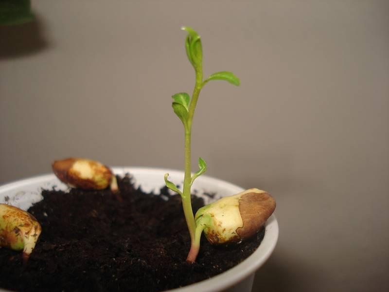 Как растут фисташки? история и полезные свойства. фото — ботаничка.ru