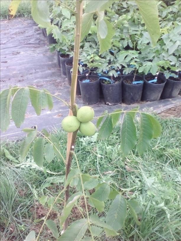 Как прививать грецкий орех летом и весной в домашних условиях