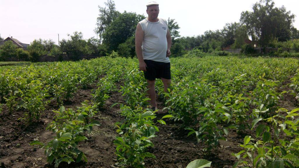 Рынок фундука: миллионные перспективы для украинских фермеров