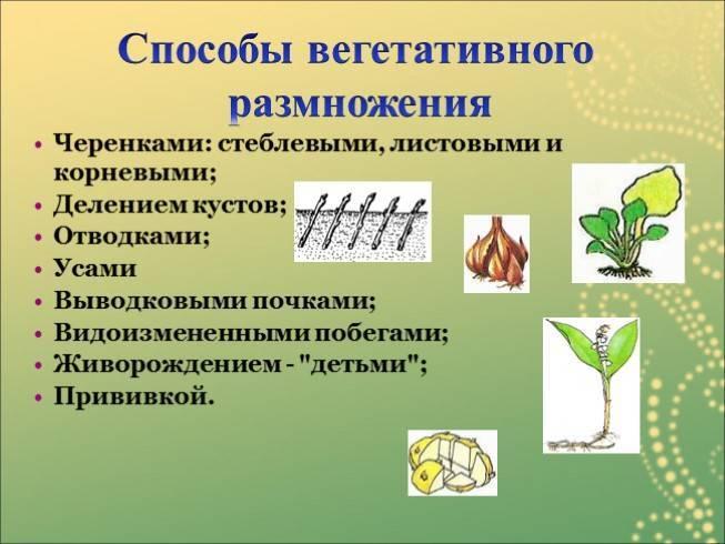 Размножение клубнями, луковицами, клубнелуковицами и клубнепочками. размножение луковичных