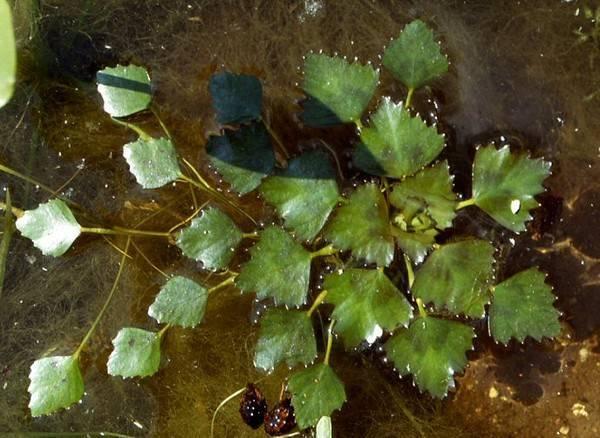 Водяной орех (чилим) - полезные свойства и противопоказания. применение и фото чилима