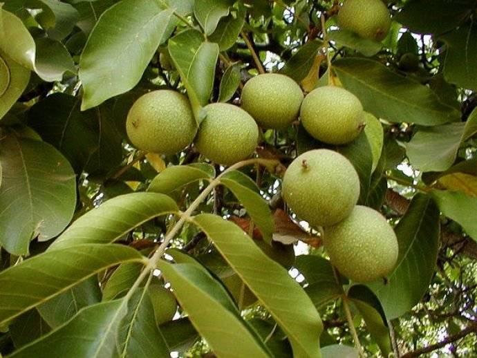 Как посадить грецкий орех: саженцем, из плода, как прорастить, уход за деревом, отзывы