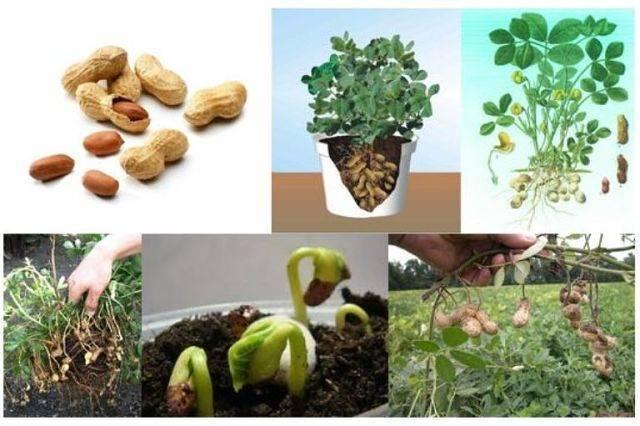 Выращиваем арахис на огороде