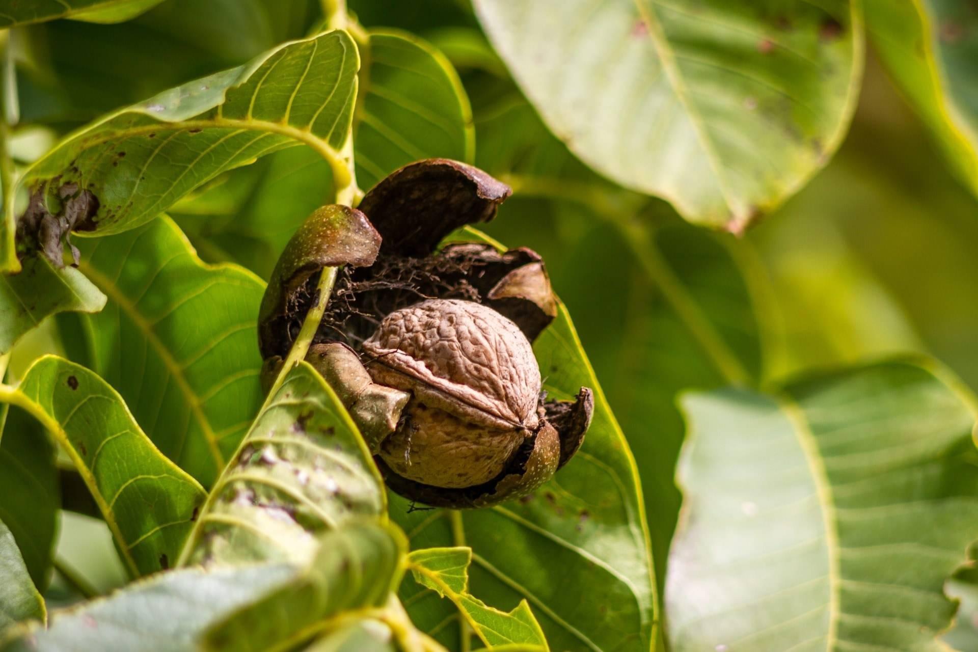 Дерево грецкий орех – как посадить и ухаживать, возможные заболевания и проблемы