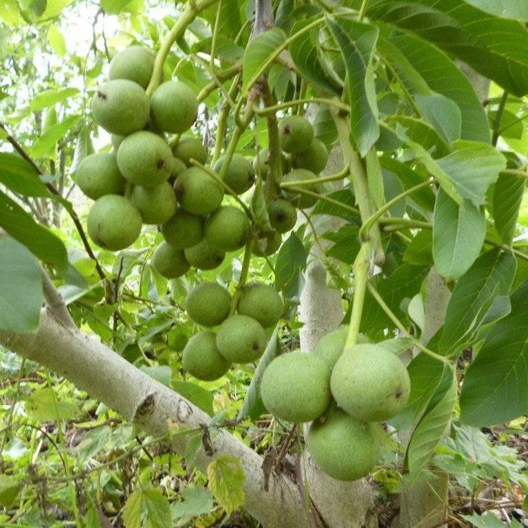 Особенности посадки и агротехнические правила ухода за грецким орехом «идеал»
