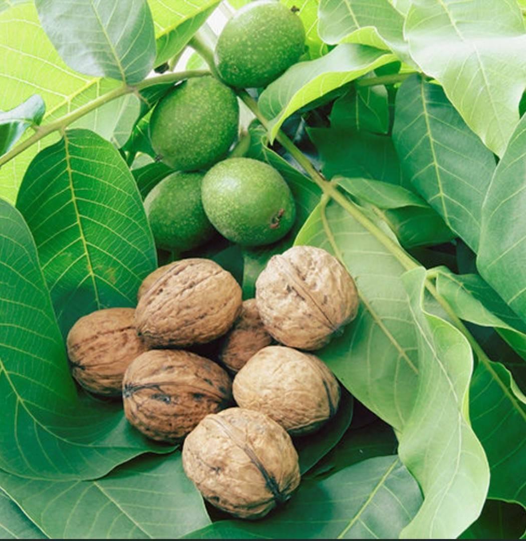 Как посадить и вырастить грецкий орех из плода в домашних условиях