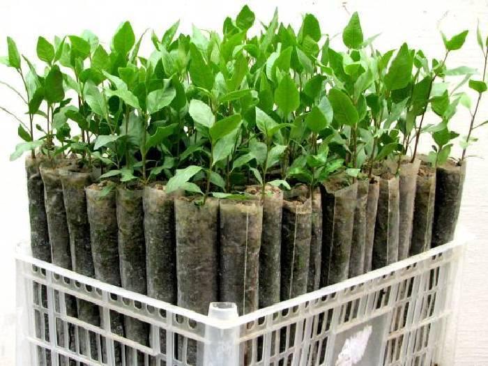 Фисташковое дерево в россии. как вырастить орех в домашних условиях дачи или огорода?