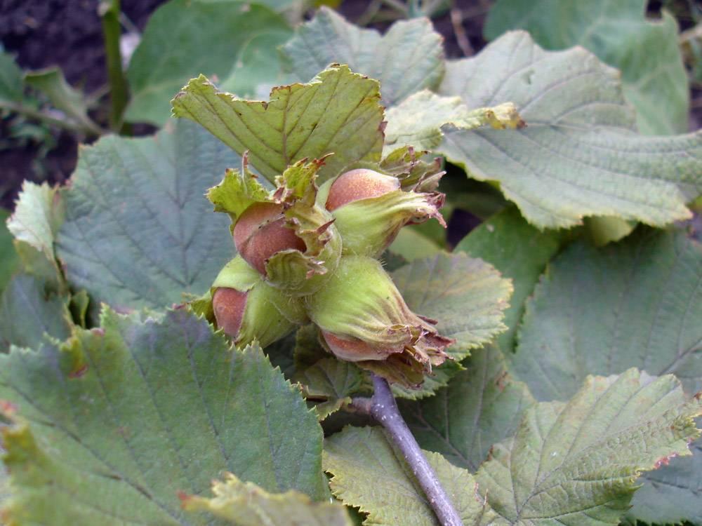 Размножение хой - все о комнатных растениях на flowersweb.info