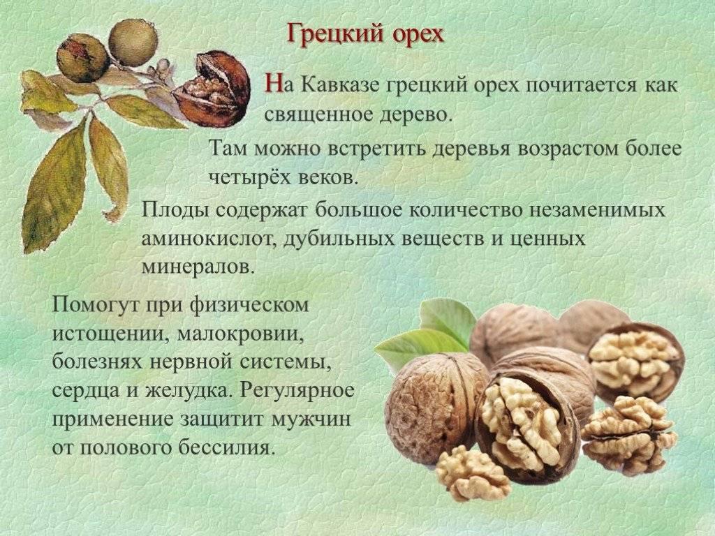 Орех кола: польза, вред, как едят, рецепты