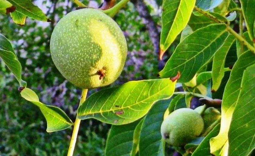Когда собирать зелёные грецкие орехи для настойки и как заготавливать