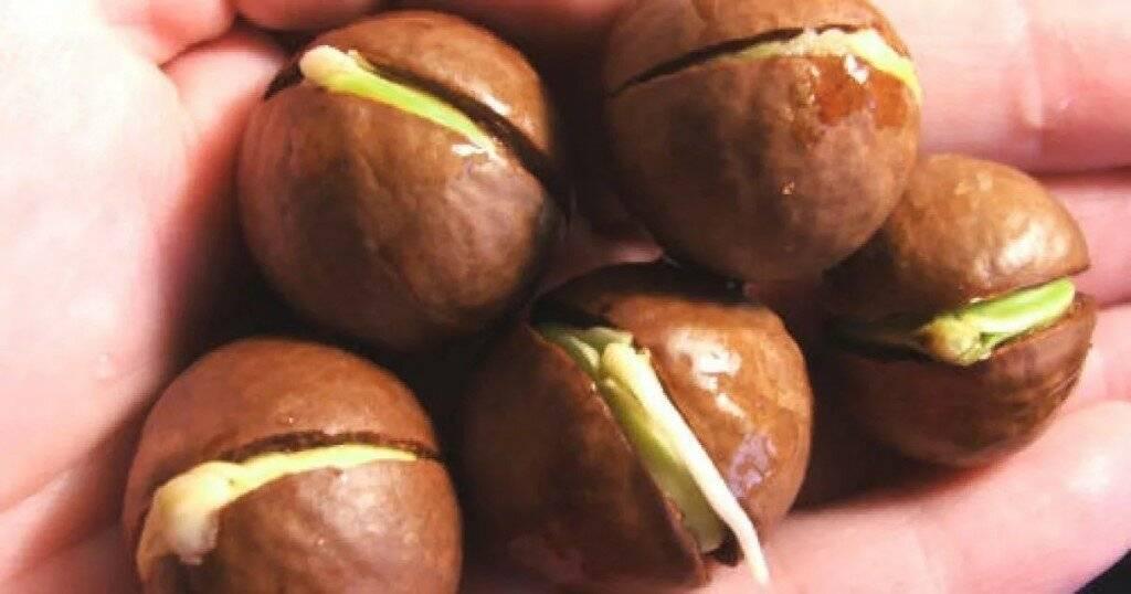 Как вырастить грецкий орех из ореха в домашних условиях: алгоритм действий