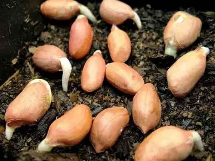 Арахис в подмосковье: можно ли вырастить на даче, в огороде или в теплице, как происходит посадка и выращивание земляного ореха в московской области?